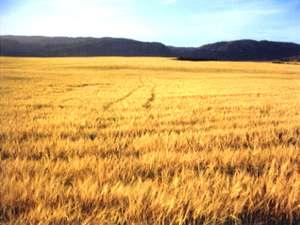 収穫を待つ大麦畑